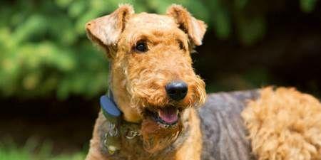 Airedale anjing jenis airedale yang unik dan banyak dijumpai di sepanjang sungai aire di inggris, anjing jenis inibanyak yang fijadikan anjang polisi