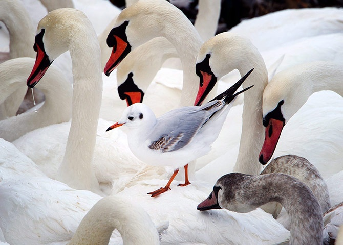 Swans - and a seagull - at Stralsund.  Striking shot, even though the reds are unnaturally punchy.  Looks a bit like good old lurid Velvia...