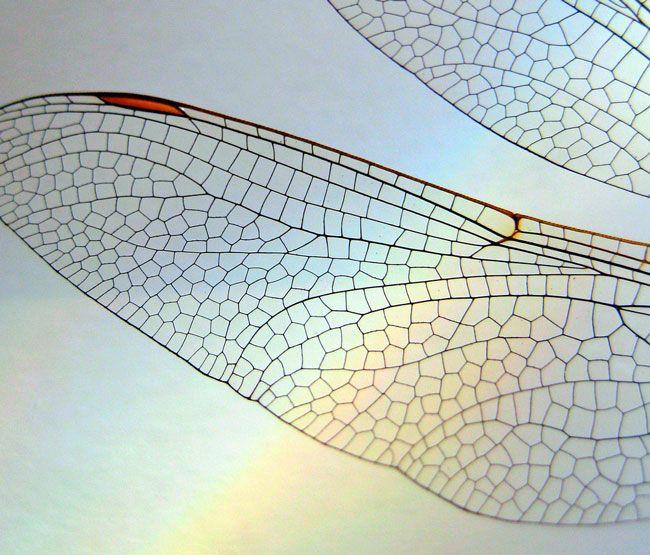 Guldsmed vinge
