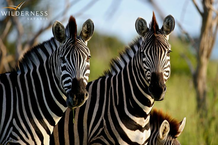 Owing its location on the periphery of the Delta, Chitabe offers exciting year-round game viewing. #Botswana #Africa #safari #zebra
