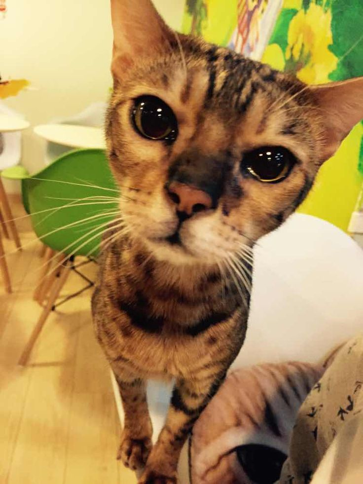 the real talking Tom cat