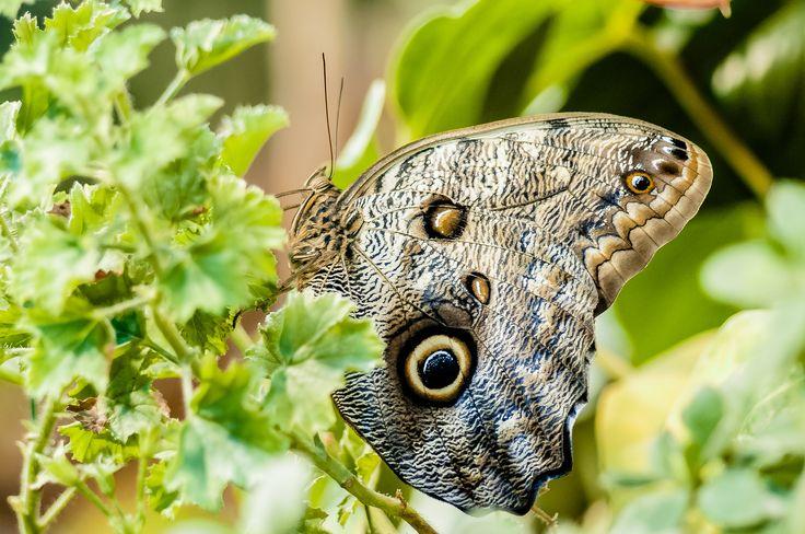Caligo idomeneus by Graziella Serra Art & Photo on 500px