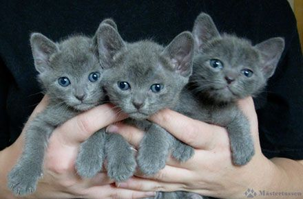 Korat kittens..love love these babies!