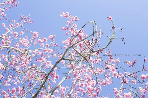 Fine Art Flower Cherry Blossom Blue Pink Home by lisafphotography