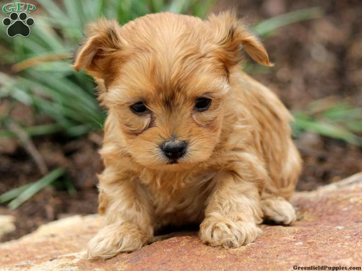 yorkie poo puppies for sale in pa 143 best designer puppies for sale images on pinterest 3916