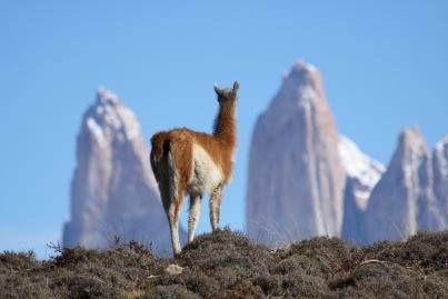 A guanaco taking in the view of the famous 'towers' at Torres del Paine National Park