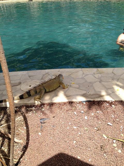 Big Boy - The Iguana