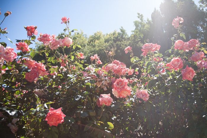 roses: Secret Gardens, Empty Gardens, Favorite Gardens, Life Style, Summer Rose, Fashiontoast Rose, Pink Rose, Rococo Style, Vintage Style