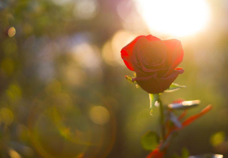 rose, роза в лучах солнца