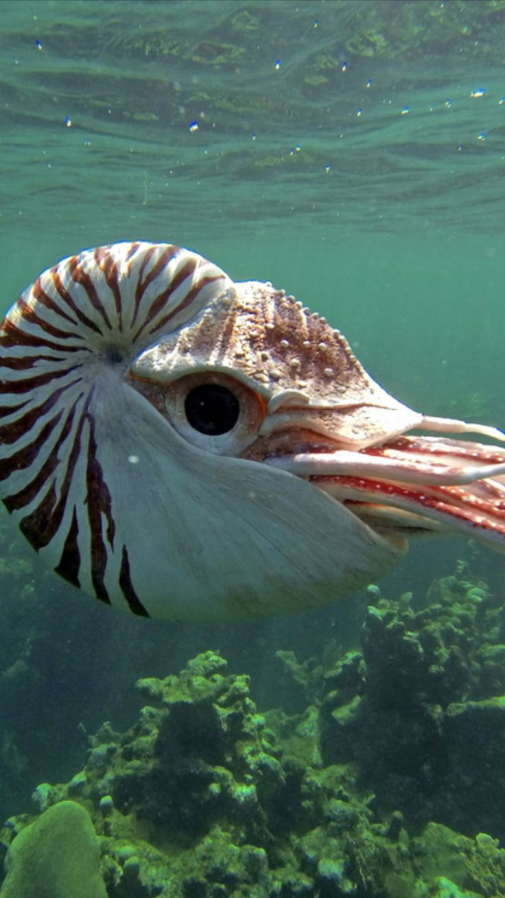 Swimming Chambered Nautilus Pictures Of Sea Creatures Beautiful Sea Creatures Marine Animals