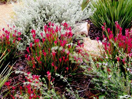 http://www.wildaboutgardens.com.au/wp-content/gallery/waterwise/Pink_kangaroo_paw.jpg