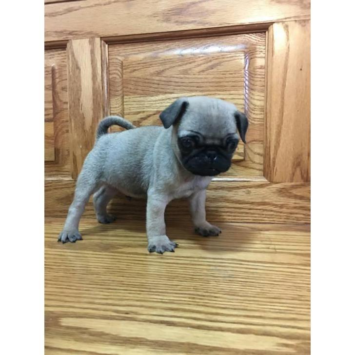 11 Best Husky Puppies For Sale Images On Pinterest Husky