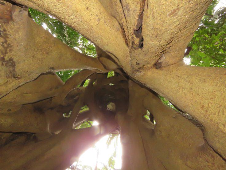 Inside a strangler fig, Minyon Long walk