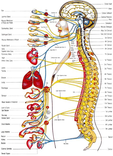 The Autonomic Nervous System, which functions as the control system to run the body's organs to maintain our overall functioning. See where these functions originate and lead to within the spine. This also corresponds to injury and some symptom occurrence.