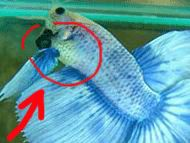 betta fish belly images