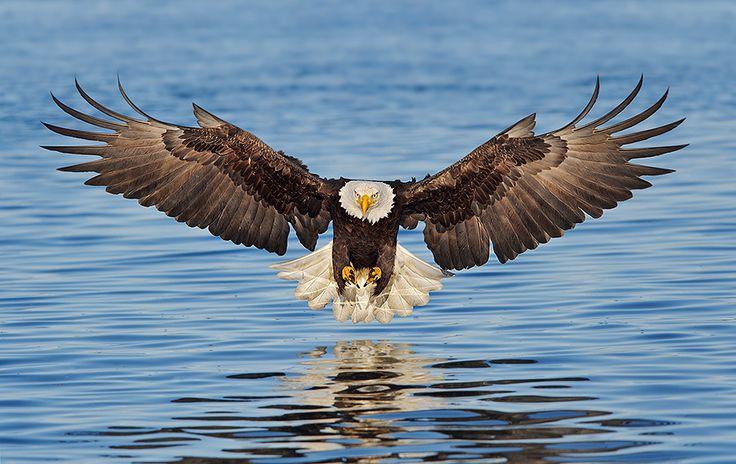 Bald Eagle striking (Birds of Prey, Eagles)
