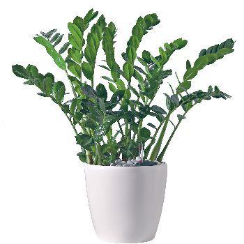 Zamioculcas h70 80cm d20cm plante vivace faire for Zamioculcas exterieur