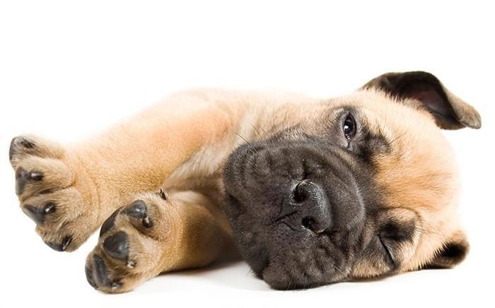 puppies at 6 weeks~English Mastiff.