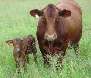 pin tuli cattle crossbreeds - photo #47
