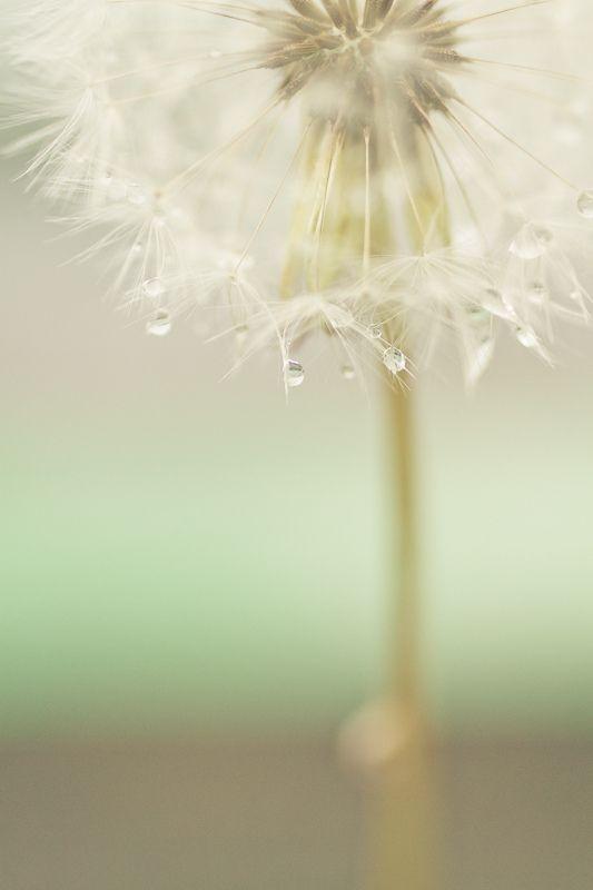 Dripping of Rain on Dandelion by Shibazo... soft, ethereal, beautiful =)