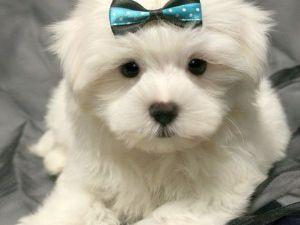 maltichon puppies - Google Search