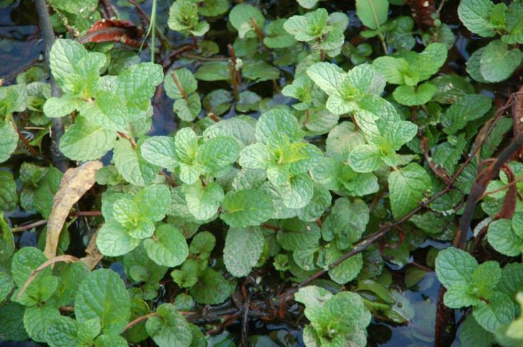 Water mint similar to peppermint but with more flavors