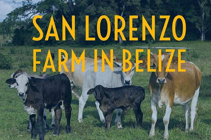 There are many Belize farms in the area, particularly in the mountainous town in and around San Ignacio in Belize's Cayo district. One such property is our very own San Lorenzo Farm. This 400-acre expanse contains both Hanna Stables, where we conduct daily horseback rides and our private accommodations at Nabitunich stone cottages. In addition