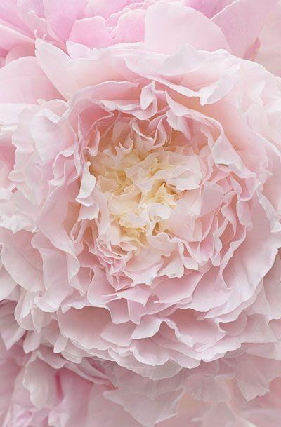 Botanical Fine Art Photograph of Peony Flower