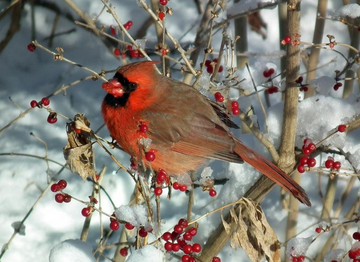78+ Images About CARDINALS On Pinterest