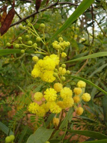 27 best mimosa images on pinterest yellow flowers shrub for Bouquet de fleurs jaunes