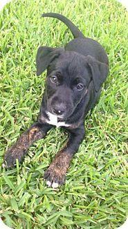 Houston, TX - Bull Terrier/Standard Schnauzer Mix. Meet Oliver, a dog for adoption. http://www.adoptapet.com/pet/15818666-houston-texas-bull-terrier-mix