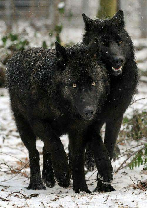Black is the new (??) Wolf.
