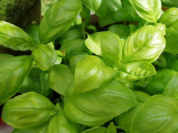 Basil Leaves for Acid Reflux and Indigestion