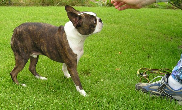 Brindle Boston Terrier - Click to shop dog accessories for Boston Terriers.