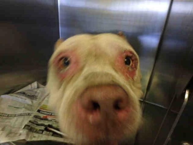 CHICO - URGENT - CITY OF LOS ANGELES SOUTH LA ANIMAL SHELTER in Los Angeles, CA - Adult Male Pit Bull Terrier *LOOKS LIKE HE HAS ALLERGIES*