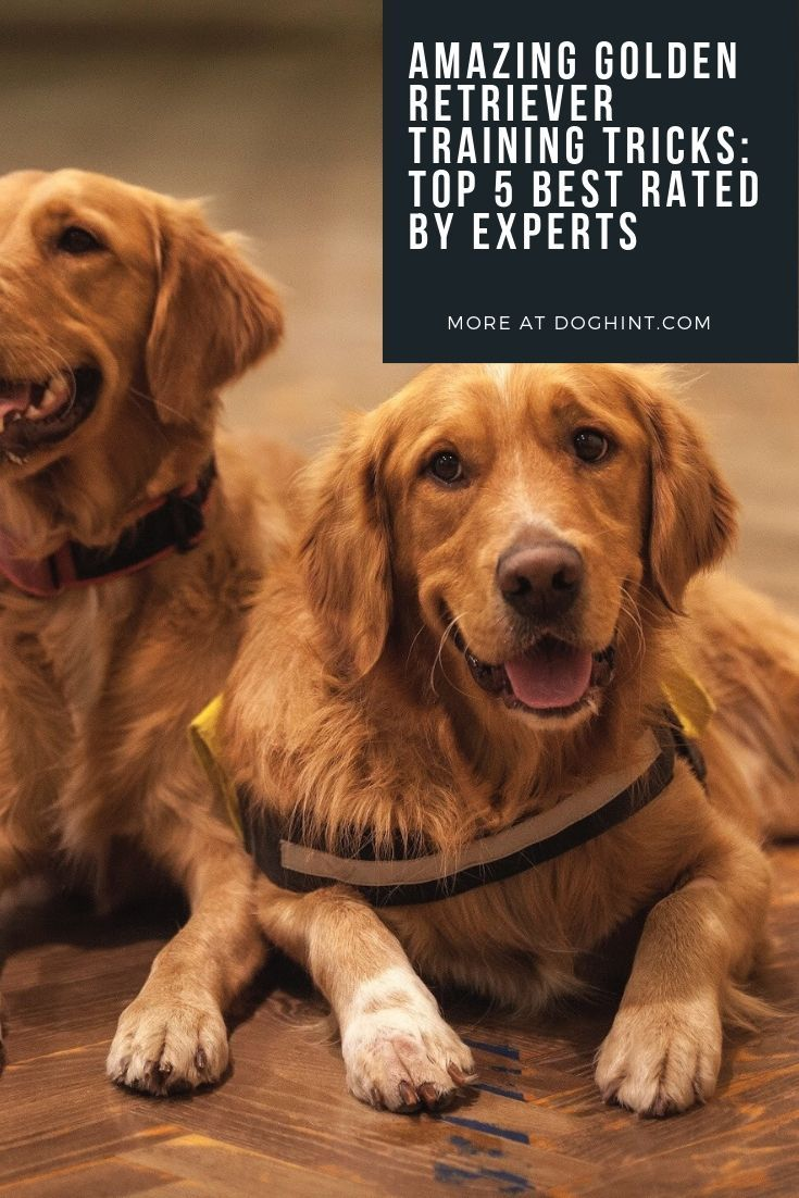 Learn Top 5 Best Golden Retriever Training Tricks Rated By