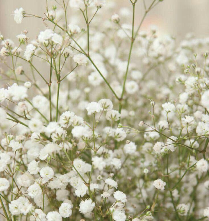 Gypsophila Paniculata In 2020 Babys Breath Flowers Baby S Breath Plant Gypsophila