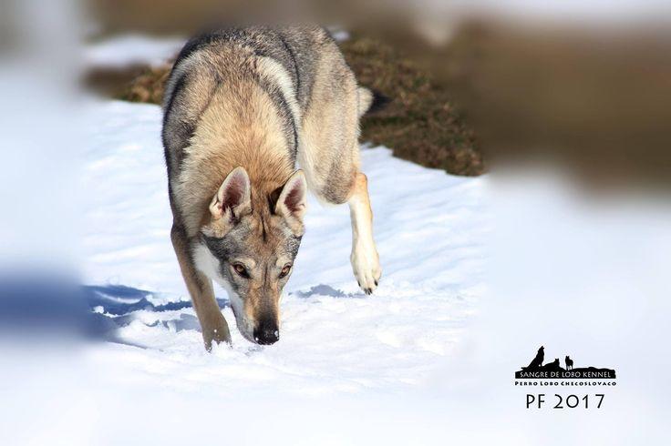 Elsa Elentári Šedý poklad (czechoslovakian wolfdog)