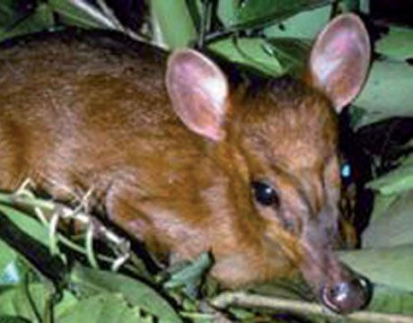 The World's Smallest Deer, The leaf deer, the world's smallest deer species, stands just over 2.5 feet, weighs about 25 pounds and lives in Myanmar (Burma).