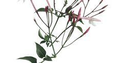 Cómo enraizar un jazmín. La familia de la planta de jazmín incluye enredaderas y matorrales que son mejor conocidos por sus flores con intensa fragancia. De hecho, los jazmines son cultivados para producir aceite de flores de jazmín para las industrias de perfumes y cosméticos, particularmente el poét o el jazmín común (jasminum officiale) y el real o jazmín español ( ...