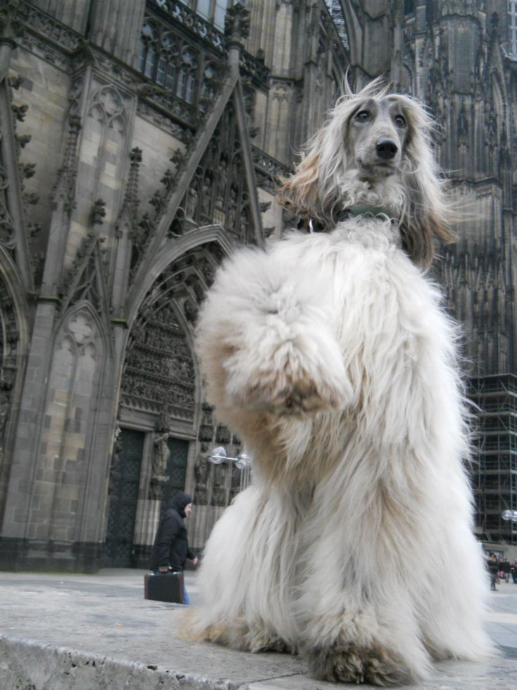 Afghan Hound Beautiful Dogs Big Dogs