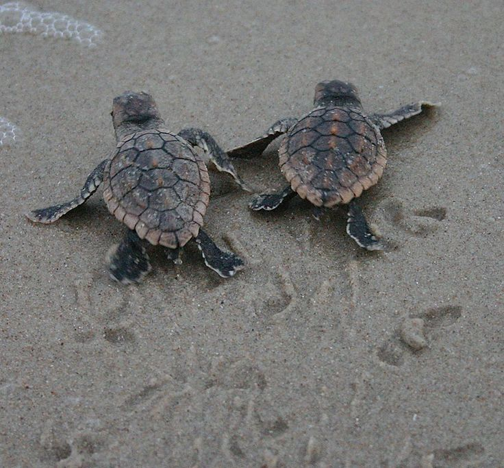 Wildlife Wednesday: Baby Sea Turtles Hatch from Anna & Elsa's Nests at Disney's Vero Beach Resort!