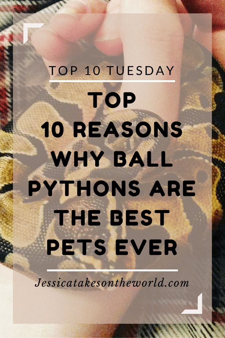 Jessica Takes on the World: Top 10 Reasons Why a Ball Python is One of the Best Pets Ever