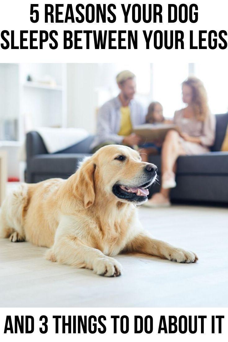 Why Does My Dog Sleep Between My Legs Sleeping Dogs Dogs Dog Behavior