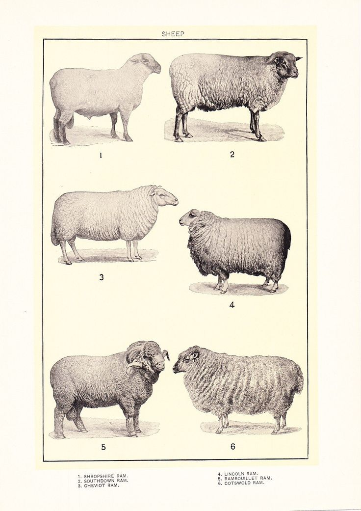1912 Animal Print Sheep Vintage Antique Home Decor by Holcroft