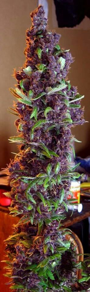 Want #The best seeds http://www.spliffseeds.nl/silver-line/blue-berry-seeds.html