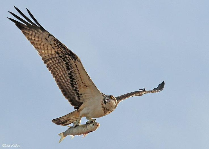 43 best images about osprey on pinterest for Fish hawk bird