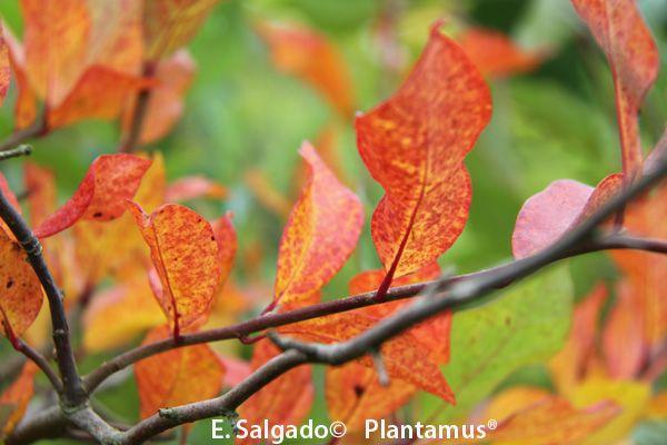 Nyssa silvatica, hojas en otoño