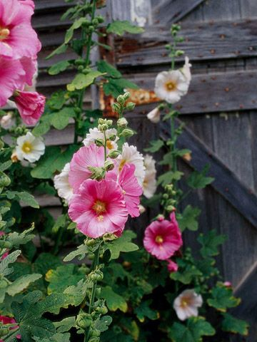 Hollyhock reseeds itself