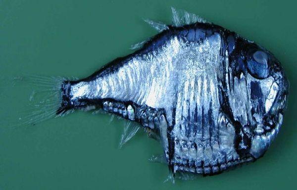 Рыбы топорики